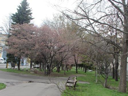 桜も頑張っている