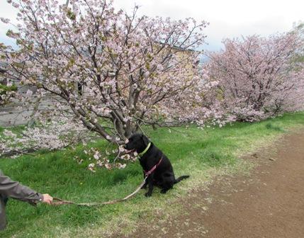 桜とアルマくん