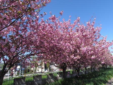 時間差の桜7