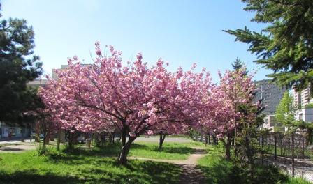 時間差の桜4
