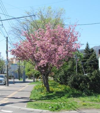 時間差の桜2