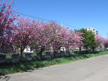 時間差の桜8