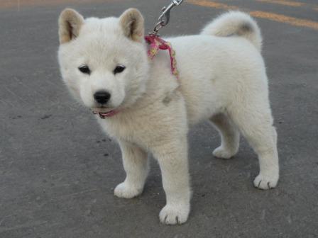 アイヌ犬2