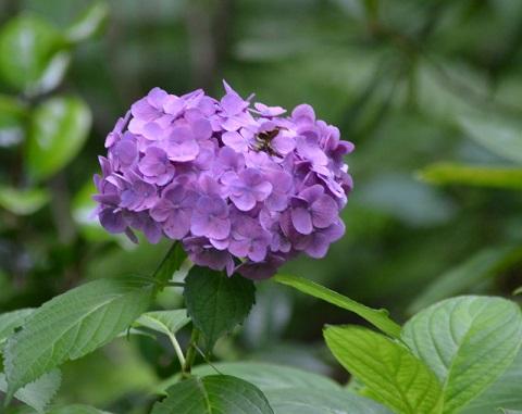 DSC_4900紫陽花