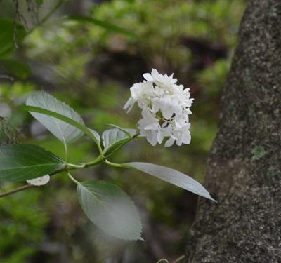 DSC_4905紫陽花?