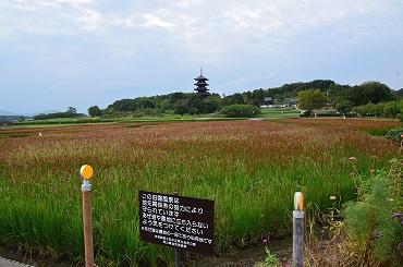 DSC_0165国分寺の赤米