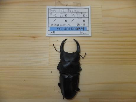 オオクワガタ No3.YG血統 80mm ♂単品。。。