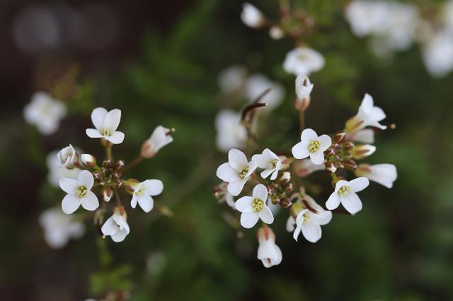 タネツケバナ(種漬け花)