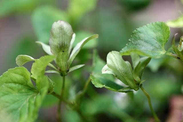 ミドリタチツボスミレ(緑立坪菫)
