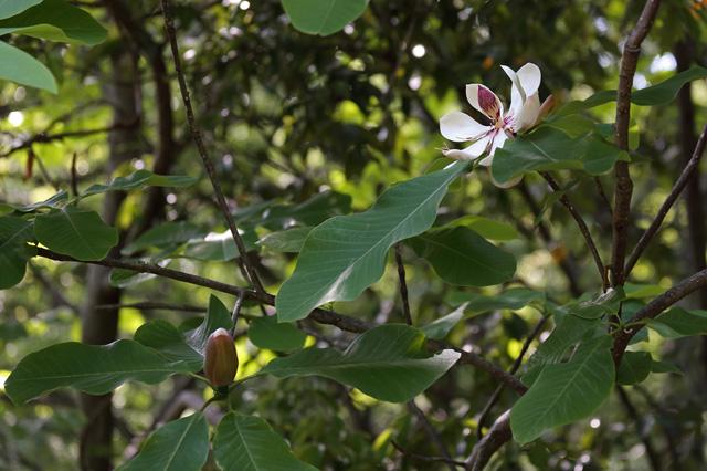 ホオノキ(朴の木、朴)