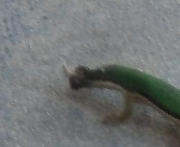 緑トカゲ虫を捕まえる(2)