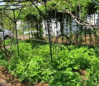 セリ自生の菜園