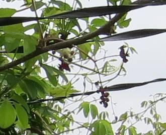 アケビ3枚葉紫の花