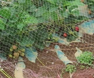 イチゴ5月防鳥ネット(2)