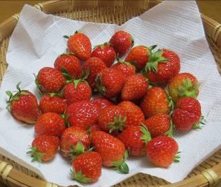 イチゴ収穫物5月