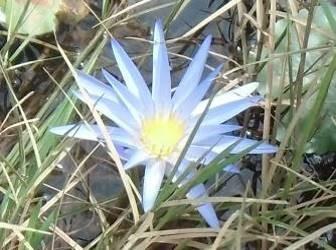 青い水田の花1