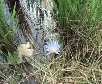 青い水田の花3
