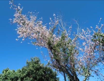 マダガスカルの桜のような花1