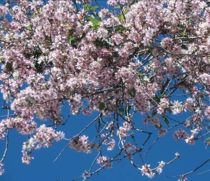 マダガスカルの桜のような花2
