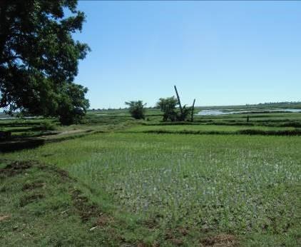 マダガスカル・マジュンガの水田1