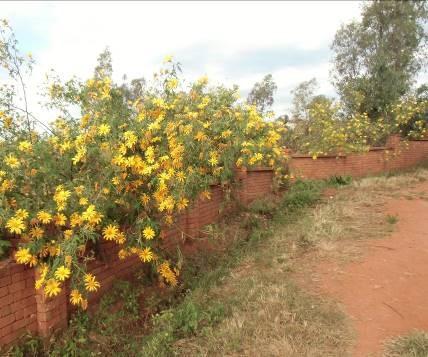 マダガスカル道路端の花6月