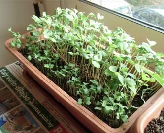 プランタ栽培のスプラウト