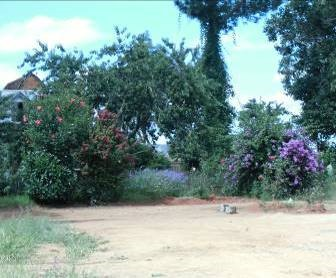 紫のブーゲンベリア1