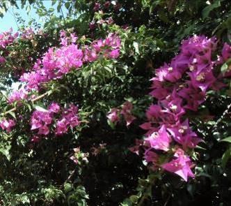 紫のブーゲンベリア3