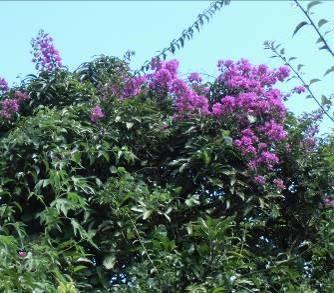 紫のブーゲンベリア2