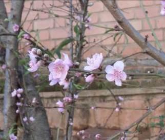 マダガスカルの梅の花2