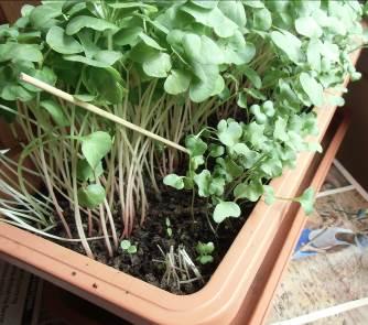 ブロッコリースプラウト栽培2
