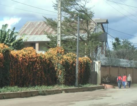 マダガスカル黄色い冬の花1