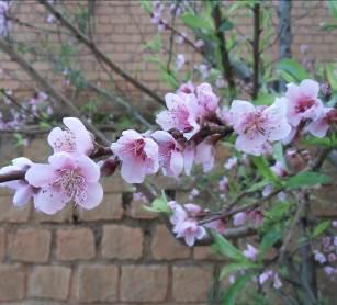 マダガスカルアパート前の梅の花1