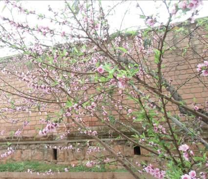 マダガスカルアパート前の梅の花2