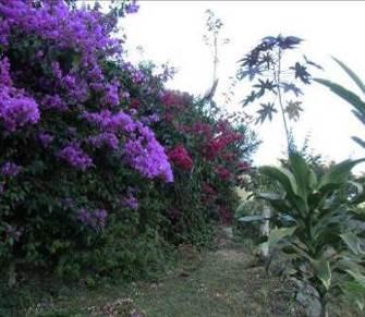 冬のブーゲンビリア紫