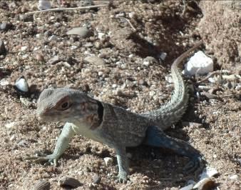 マダガスカルのトカゲ1