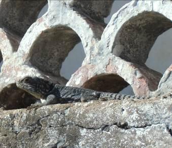 マダガスカルのトカゲ2