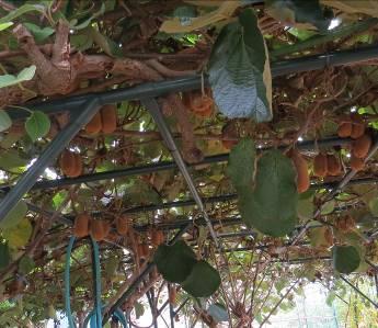 菜園果樹キウイ10月