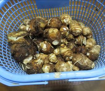 サトイモ収穫物