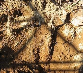 tヤマイモ掘り途中