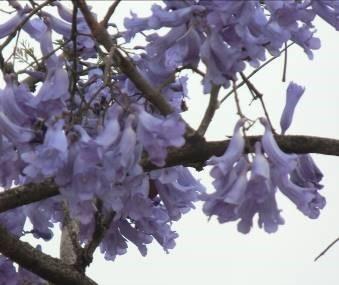 ジャカランダ11月花