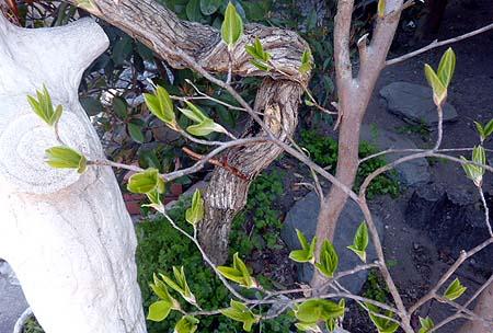 姫沙羅の芽吹き