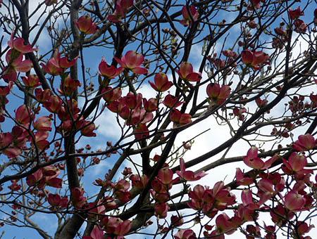 我が家の花水木