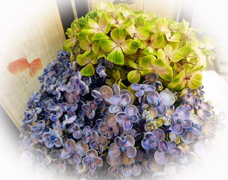紫陽花二種