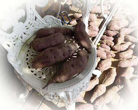 紫芋 椅子占領