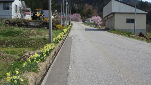 4月16日小谷村水仙街道をまめったクラブで歩く (3) (520x293)
