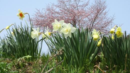 4月16日小谷村水仙街道をまめったクラブで歩く (4) (520x293)