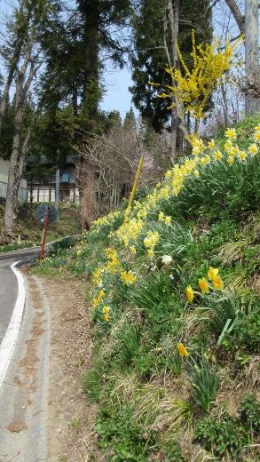 4月16日小谷村水仙街道をまめったクラブで歩く (7) (293x520)