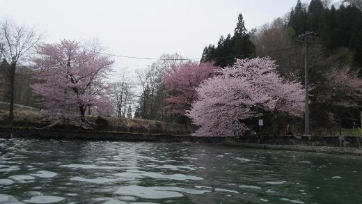 4月24日青木湖花見カヌー (3) (520x293)