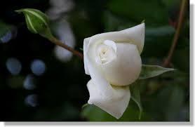 白いバラの蕾